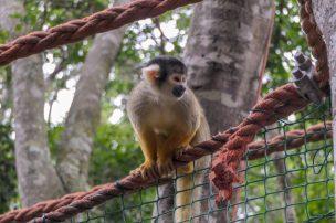 Südafrika South Africa Garden Route Kap Plettenberg Bay Monkeyland Saasa Affen Totenkopfaffe