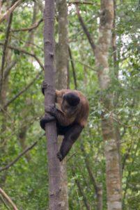 Südafrika South Africa Garden Route Kap Plettenberg Bay Monkeyland Saasa Affen Kapuzineraffe