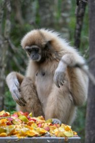 Südafrika South Africa Garden Route Kap Plettenberg Bay Monkeyland Saasa Affen Gibbon