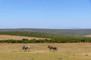 Südafrika South Africa Garden Route Ostkap Addo Elephant Nationalpark Safari Tiere Zebra