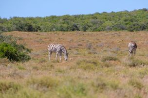 Südafrika South Africa Garden Route Ostkap Addo Elephant Nationalpark Safari Tiere Zebra