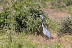 Südafrika South Africa Garden Route Ostkap Addo Elephant Nationalpark Safari Tiere Vogel Reiher