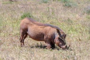Südafrika South Africa Garden Route Ostkap Addo Elephant Nationalpark Safari Tiere Warzenschwein Pumba