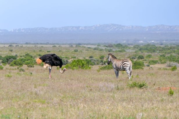 Südafrika South Africa Garden Route Ostkap Addo Elephant Nationalpark Safari Tiere Zebra Vogel Strauß