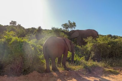 Südafrika South Africa Garden Route Ostkap Addo Elephant Nationalpark Safari Tiere Elefanten