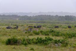 Südafrika South Africa Garden Route Ostkap Sibuya Game Reserve Wildreservat Game Drive Safari Zebra Büffel