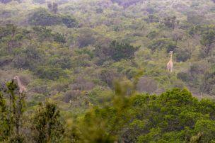 Südafrika South Africa Garden Route Ostkap Sibuya Game Reserve Wildreservat Morgen Safari Game Drive Busch Giraffe