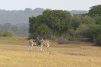 Südafrika South Africa Garden Route Ostkap Sibuya Game Reserve Wildreservat Safari Game Drive Zebra