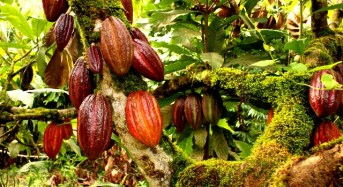 Cocoa: A Farmer's Nightmare Crop