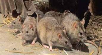 Lassa Fever Breaks In Borno