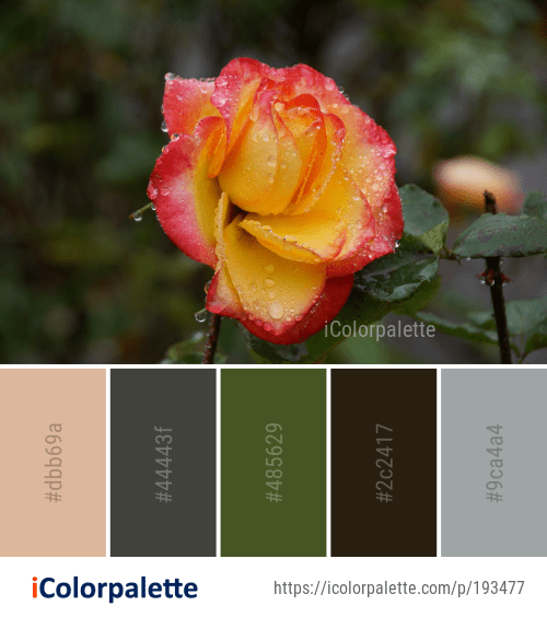 Color Palette Ideas From Flower Rose Family Image Icolorpalette