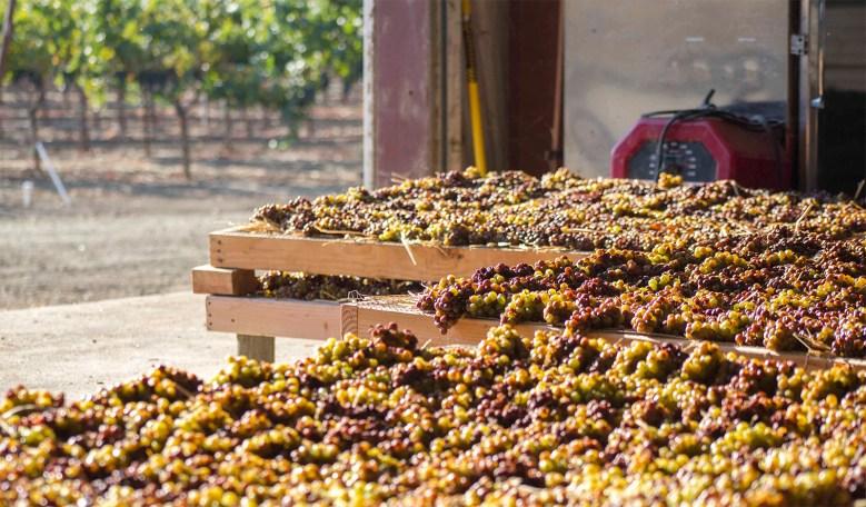 Passito Grapes on Robert Mondavi Vineyard