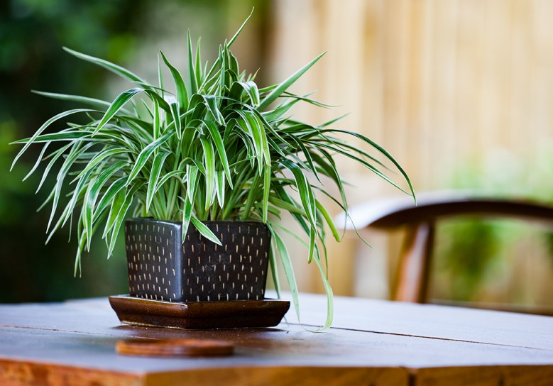 spider plant best for air quality at home