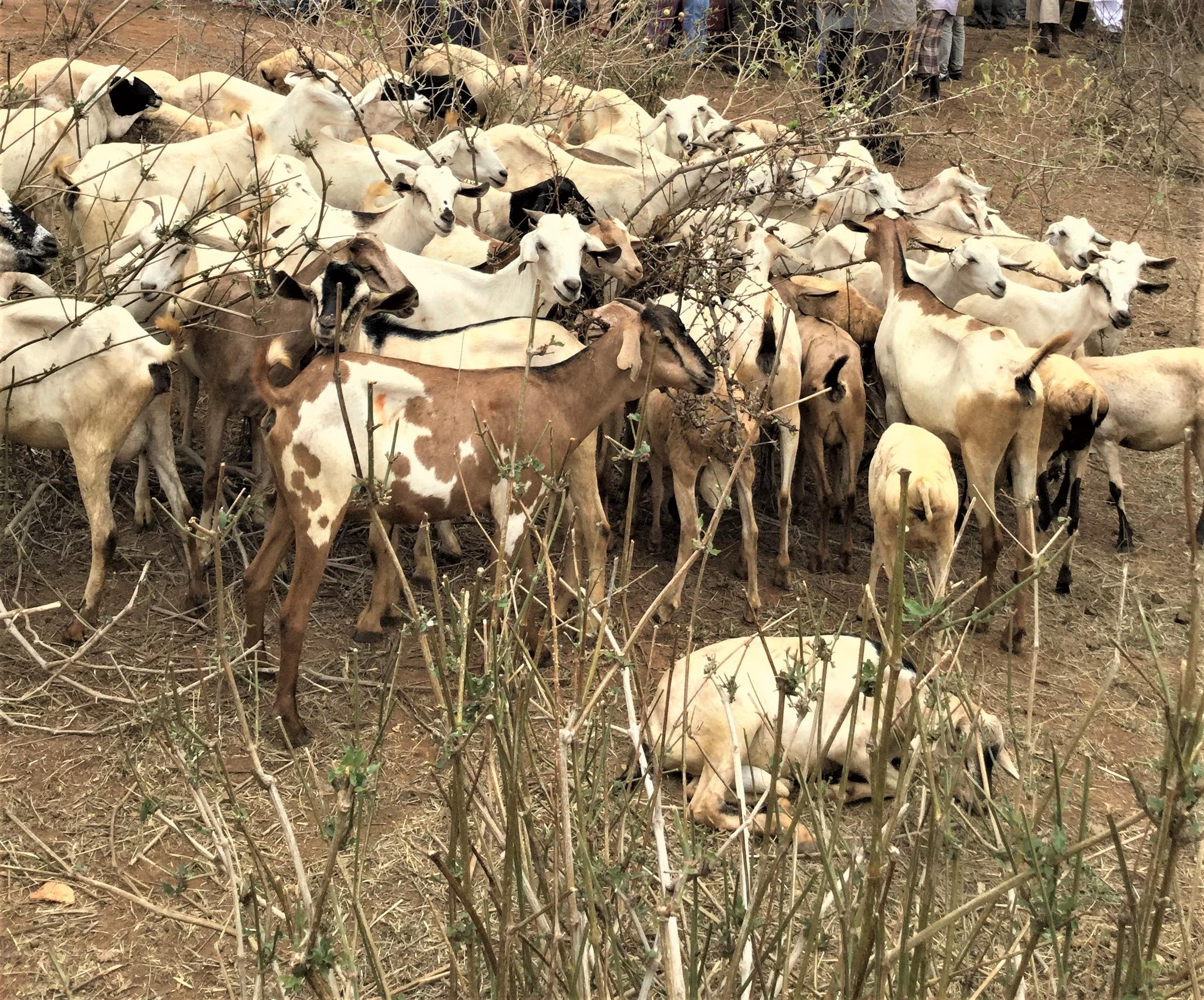 Livestock-Trade-1