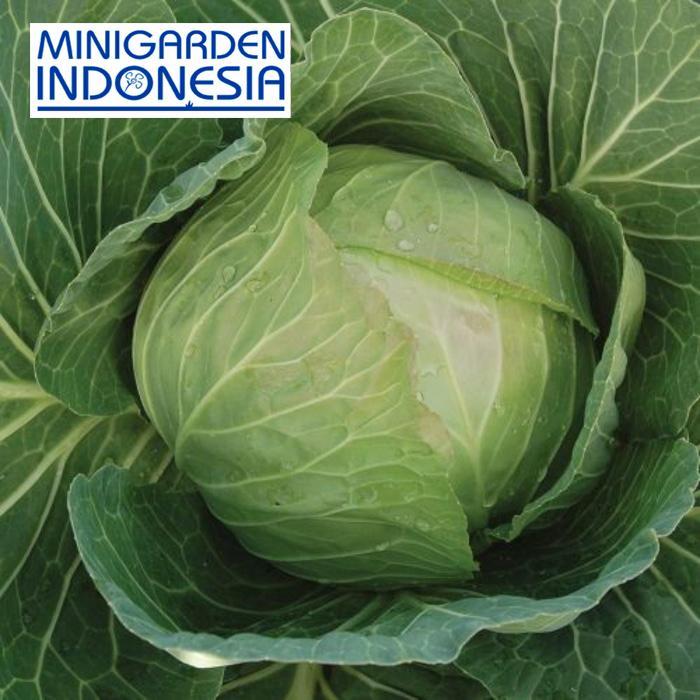 50 Benih kol Kubis Green Autumn F1 bibit tanaman sayur Sayuran hidroponik