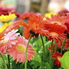 Amefurashi 20 Bibit Benih Bunga Gerbera Daisy Flower