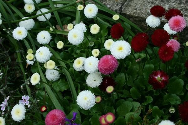 Amefurashi 50 Benih Bibit Bunga English Daisy Seed Bellis Perennis Flower
