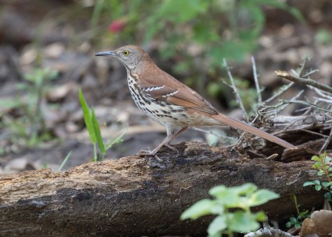 Brown Thrasher2