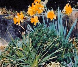 daffodils yellow2
