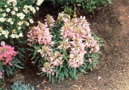 P. 'Utah hybrid1''