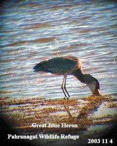 Great Blue Heron1