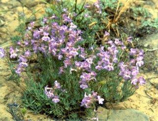 P. gairdneri, Colockrum Pass, 1983 - 1