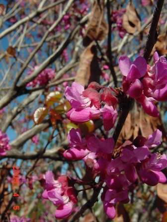 Branch of redbud