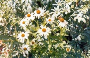 Rudbeckia 'White Luster' - Pasco, WA - 1982