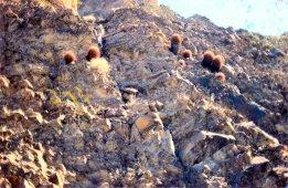 Echincactus species, Indian Pass, AZ