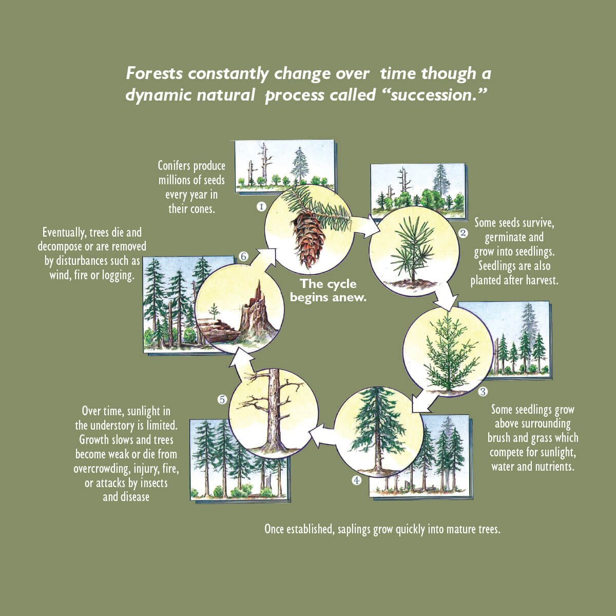 The Lifecycle Of A Forest Idaho Forests Products Commission