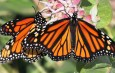 Share Sightings of Monarch Butterflies and Their Milkweed Host Plants