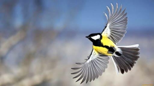 Зимующие птицы синичка