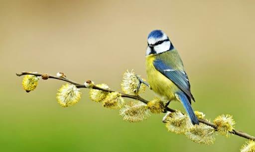 Фотография птицы синица большая
