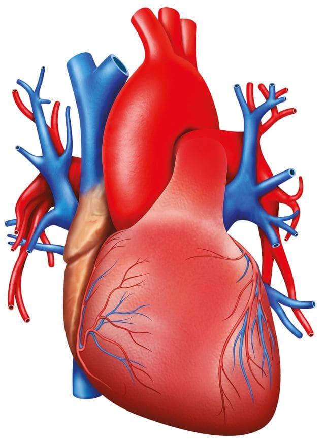 Сердце человека картинки для детей