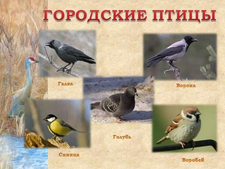 Городские птицы с названиями - фото для детей