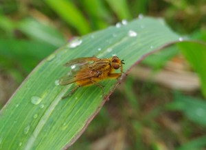 Hexapoda, Insecta, Pterygota