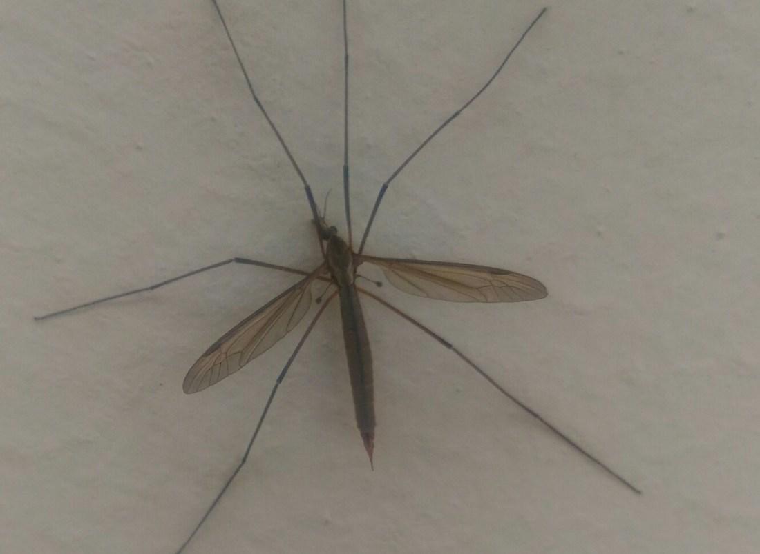 Tipula zanzara gigante