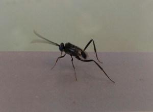Pterygota, Hymenoptera,Apocrita