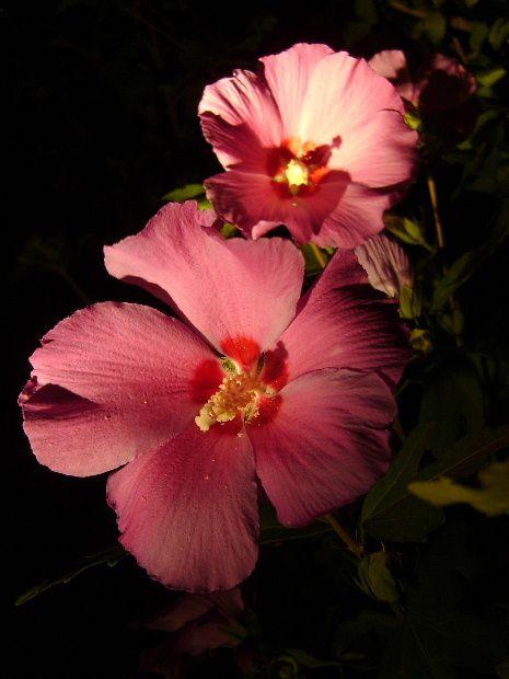 fleur-dans-la-nuit-juil12a.JPG