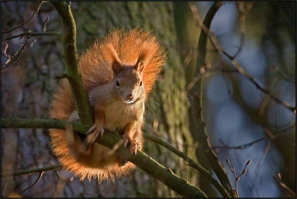 ecureuil-roux-face 1