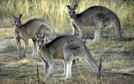 kangaroo1_1663294c-copie-1.jpg