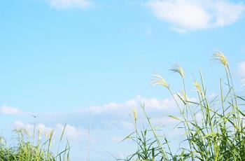 コスモスと青空