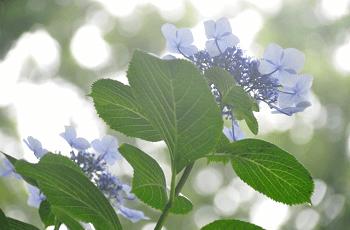 梅雨の晴れ間に咲くアジサイ