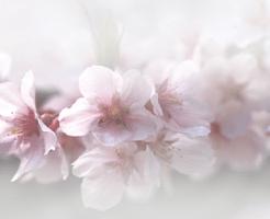 薄桃色の桜の花