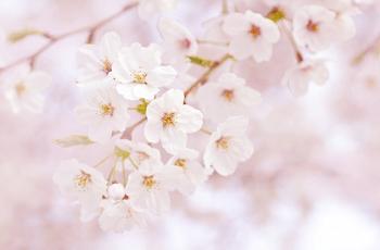 パステルピンクの桜