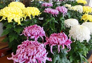 黄色、白、紫色の菊の花