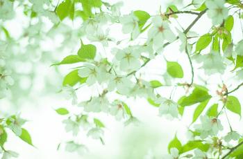 白い桜の花と緑の葉