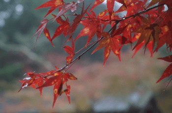 雨に濡れた紅葉