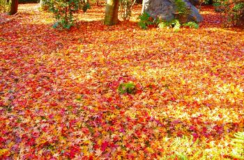 落ち葉となった紅葉