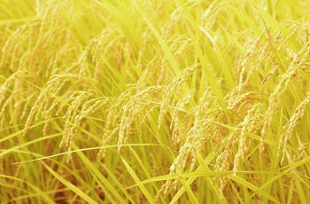 実った麦の穂
